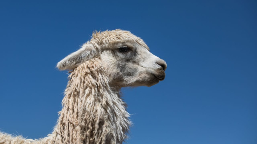 Llamas have resting smile faces
