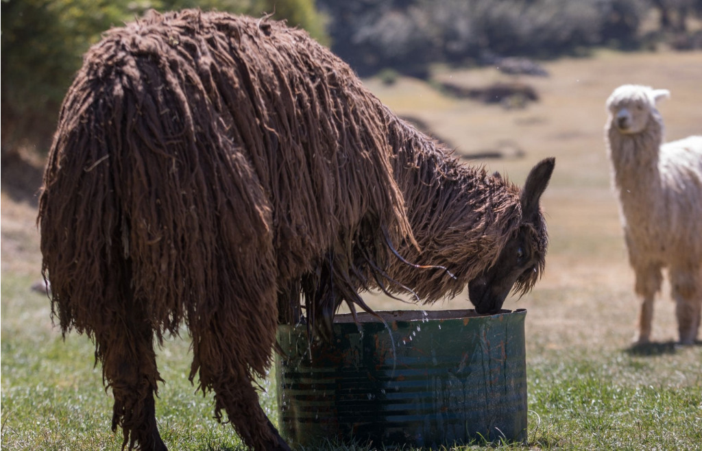 A long-haired llama drinking water