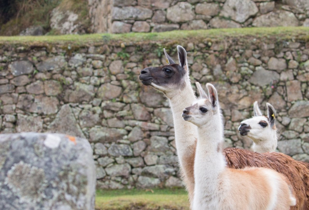A group of llamas in Machu Picchu