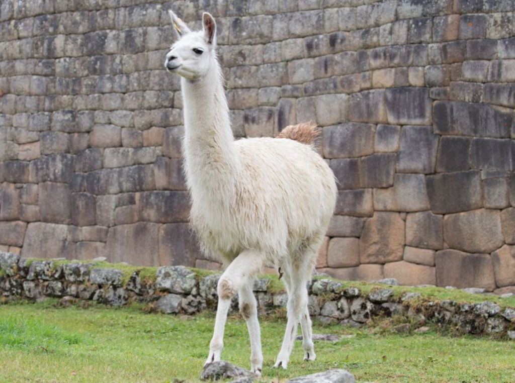 An elegant llama ready for the runway