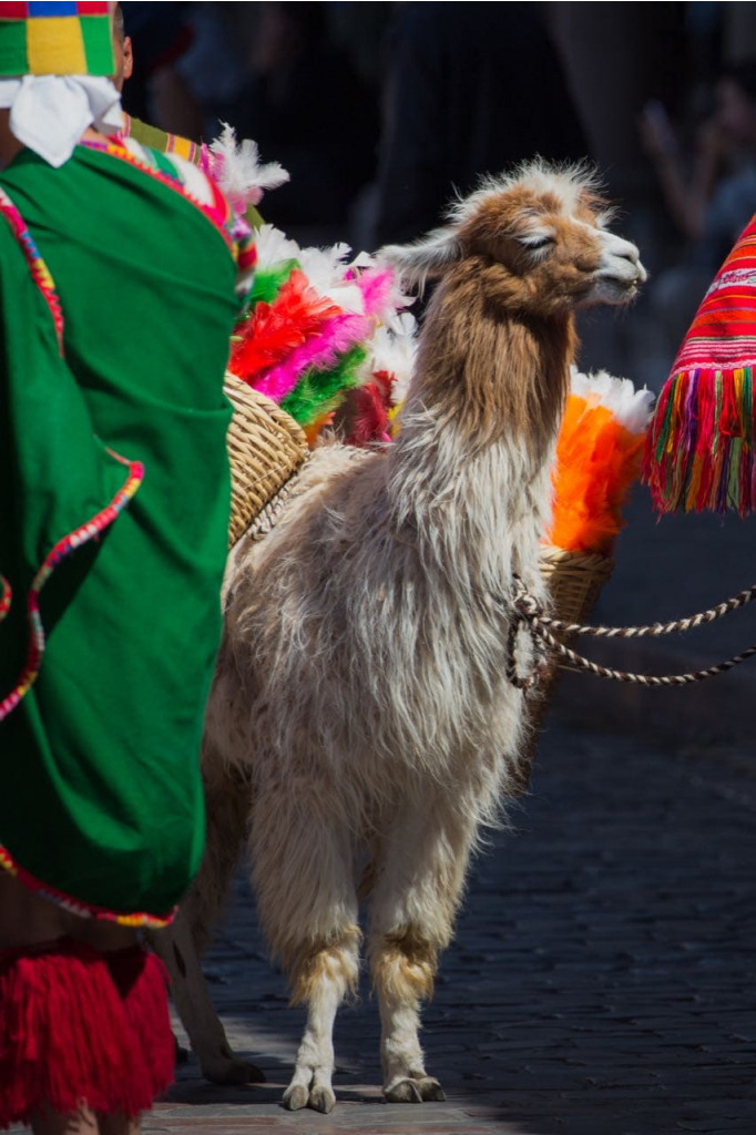 A chill llama in Cusco city during a festival.